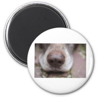 German shorthaired pointers nose magnet
