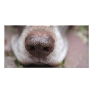 German shorthaired pointers nose photo card