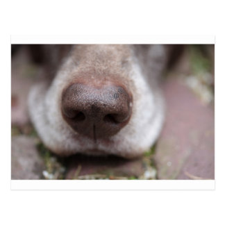 German shorthaired pointers nose postcard