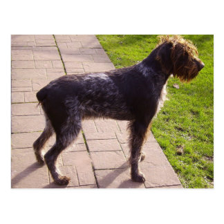 German_Wirehaired_Pointer full.png Postcard