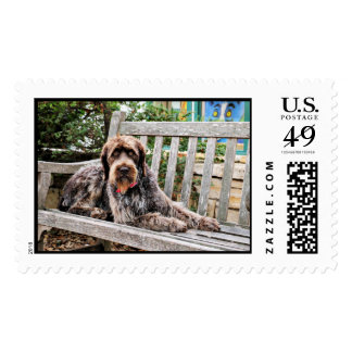 German Wirehaired Pointer - Lexy Postage Stamps