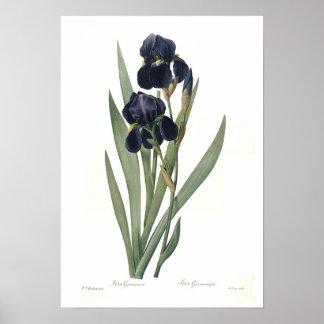 Germanica del iris póster