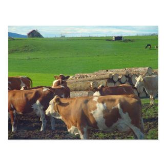 Germany, Bavaria, Dairy cows in the pasture Postcard