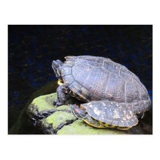 Getting a suntan Turtles Postcard