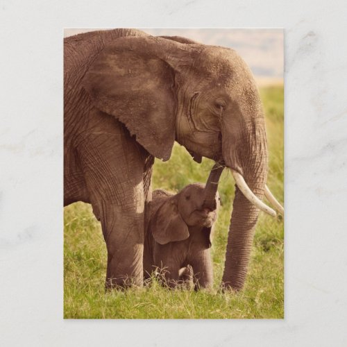 Getty Images  Elephant  Baby Postcard