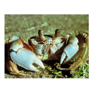 Ghost Crab Postcard