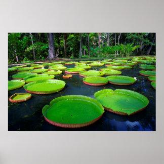 Giant Amazon Water Lilies (Victoria Amazonica) Poster