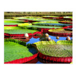 Giant Amazon Water Lily Postcards