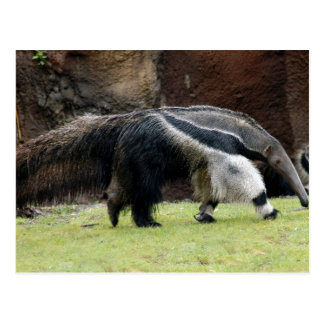 Giant Ant Eater4x6 Post Cards