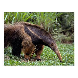 Giant anteater (Myrmecophaga tridactyla) Post Cards