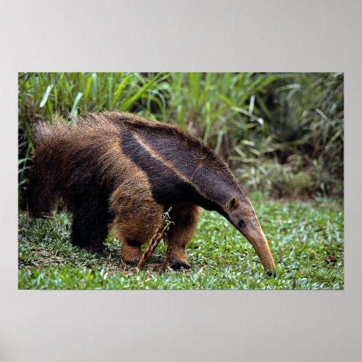 Giant anteater (Myrmecophaga tridactyla) Poster