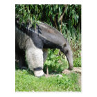 Giant Anteater  Postcard