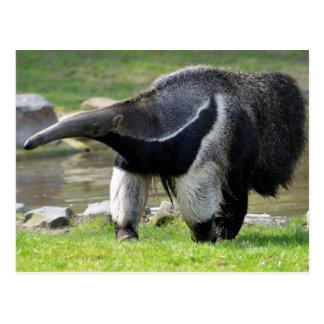 Giant Anteater walking on grass Post Card