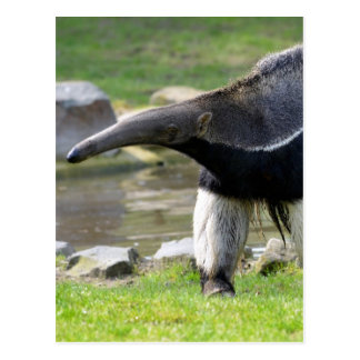 Giant Anteater walking on grass Post Cards
