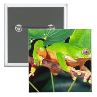 Giant Bicolor Monkey Treefrog, Phyllomedusa 2 Inch Square Button