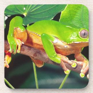 Giant Bicolor Monkey Treefrog, Phyllomedusa Beverage Coaster