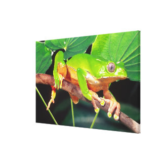 Giant Bicolor Monkey Treefrog, Phyllomedusa Canvas Print