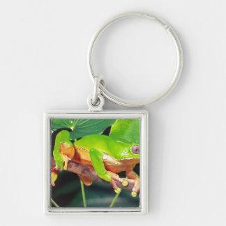 Giant Bicolor Monkey Treefrog, Phyllomedusa Keychains