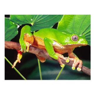 Giant Bicolor Monkey Treefrog, Phyllomedusa Postcard