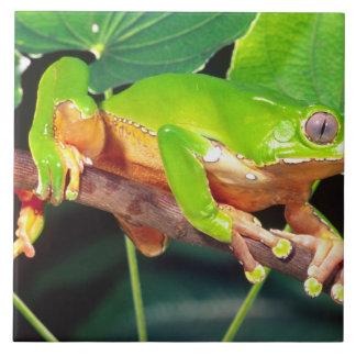Giant Bicolor Monkey Treefrog, Phyllomedusa Tile