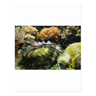 Giant Clam Postcard