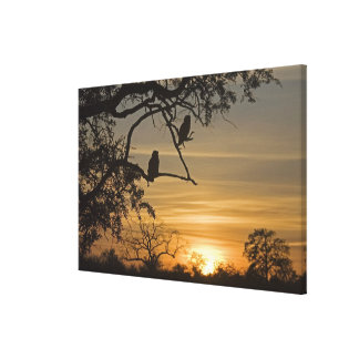 Giant Eagle Owls (Bubo lacteus) silhouetted at Canvas Print