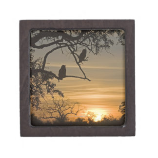 Giant Eagle Owls (Bubo lacteus) silhouetted at Gift Box