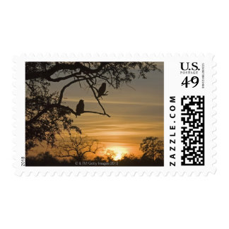 Giant Eagle Owls (Bubo lacteus) silhouetted at Postage Stamp