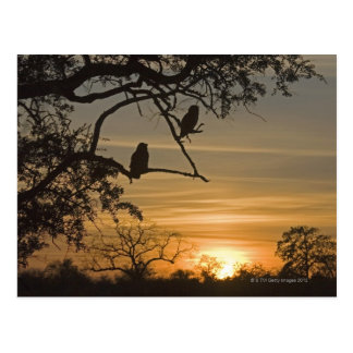 Giant Eagle Owls (Bubo lacteus) silhouetted at Postcard