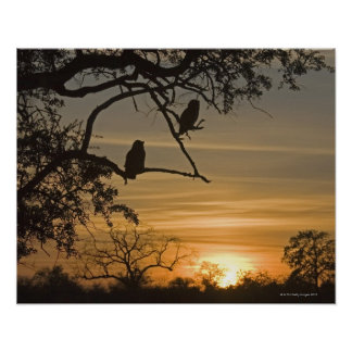 Giant Eagle Owls (Bubo lacteus) silhouetted at Poster