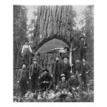 Giant Fir Tree Ready to Fall, 1902 Posters