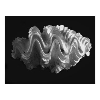 Giant Frilled Clam Seashell Tridacna squamosa Posters