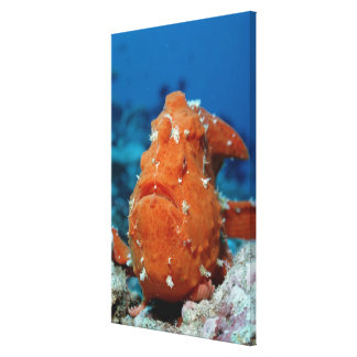 Giant Frogfish showing its fishing lure (Antennari Gallery Wrap Canvas