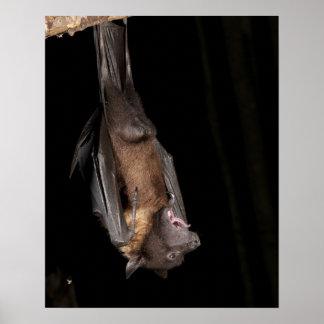 Giant Fruit Bat, Pteropus giganteus, from India Poster