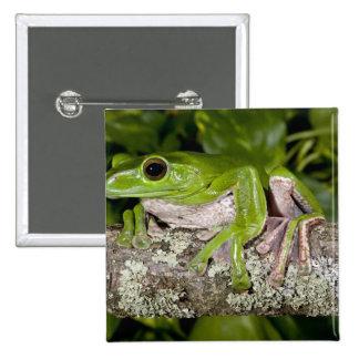 Giant Gliding Frog, Polypedates dennysi ssp, Button