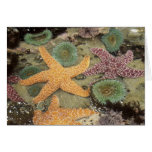 Giant green anemones and ochre sea stars card