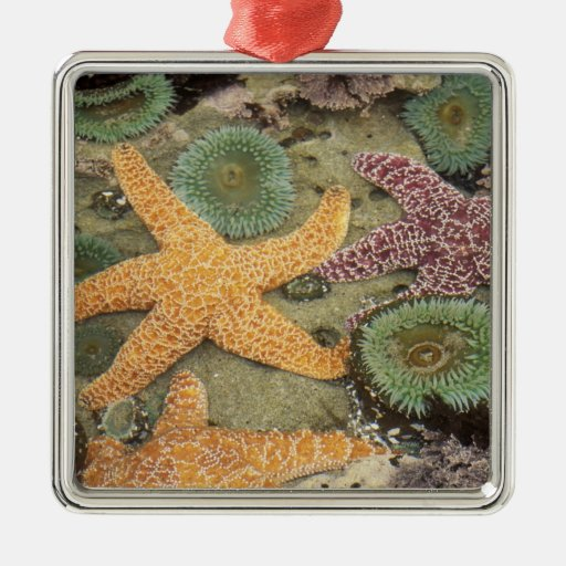 Giant green anemones and ochre sea stars metal ornament