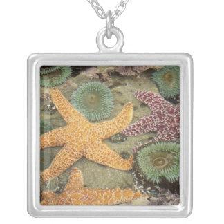 Giant green anemones and ochre sea stars pendant