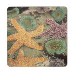 Giant green anemones and ochre sea stars puzzle coaster