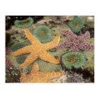 Giant green anemones and ochre sea stars postcard