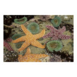 Giant green anemones and ochre sea stars poster