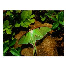 Giant Green Luna moth Postcard
