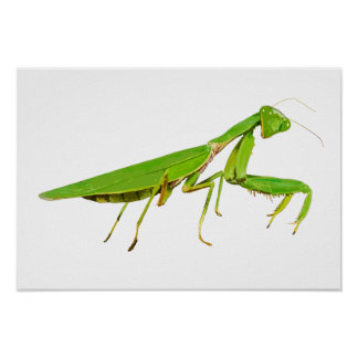 Giant Green Praying Mantis Poster