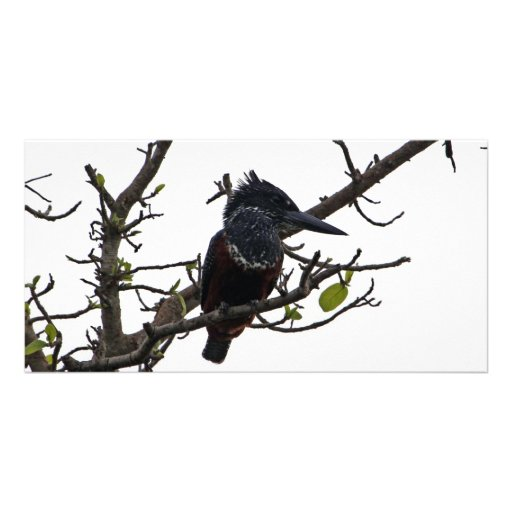 Giant Kingfisher Photo Card Template