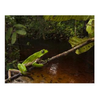 Giant leaf frog Phyllomedusa bicolor) 2 Postcard