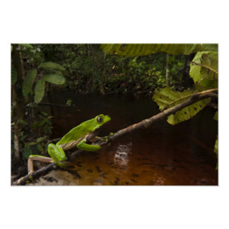 Giant leaf frog Phyllomedusa bicolor) 2 Poster
