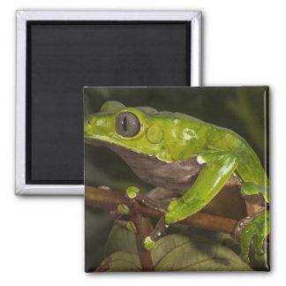 Giant leaf frog Phyllomedusa bicolor) 3 Magnet