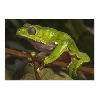 Giant leaf frog Phyllomedusa bicolor) 3 Photo Print