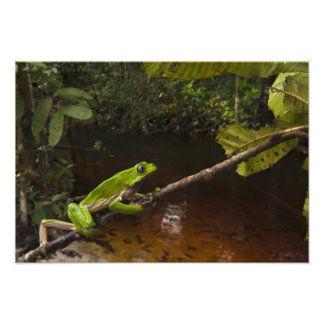 Giant leaf frog Phyllomedusa bicolor) 3 Photographic Print
