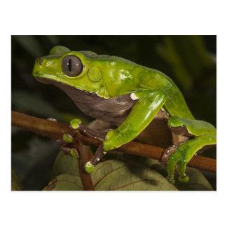 Giant leaf frog Phyllomedusa bicolor) 3 Postcard